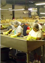 workers sorting pickles in the Talk O' Texas plant